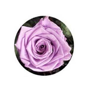 ดอกกุหลาบสีม่วง