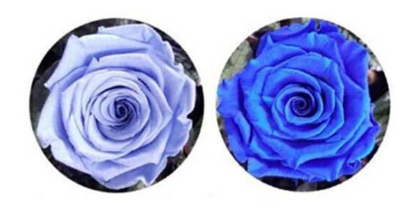 ดอกกุหลาบสีฟ้าและสีน้ำเงิน